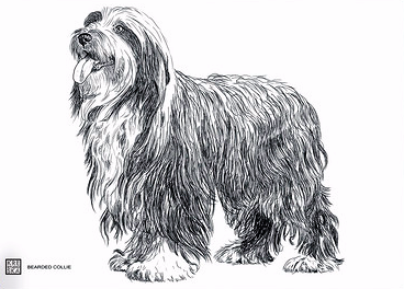 MAGNES - bearded collie.JPEG
